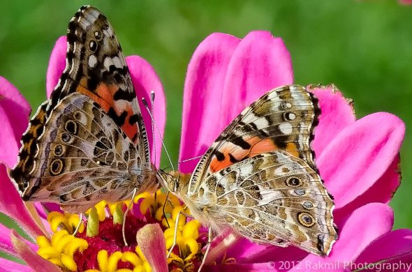 A-Rabble-of-Painted-Ladies-3-2