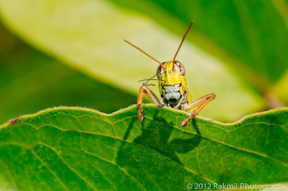 Clowning-Grasshoppers--1