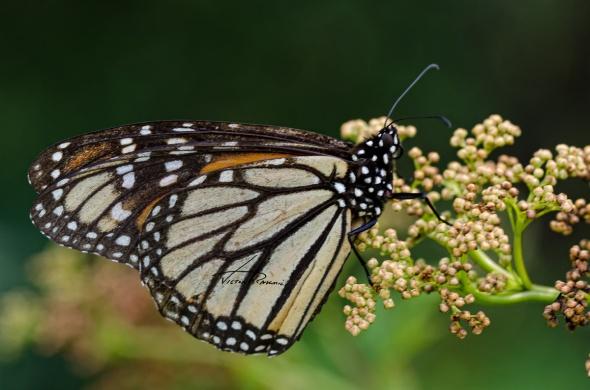 Monarch-Butterfly-