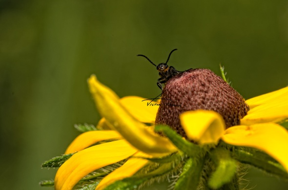 Striped-Blister-Beetle-
