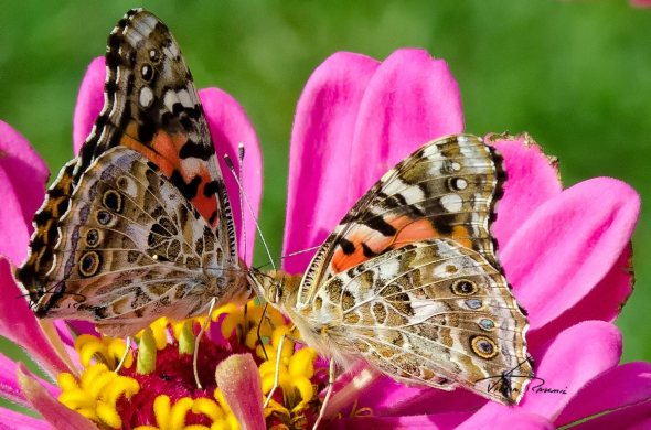 A-Rabble-of-Painted-Ladies-sm