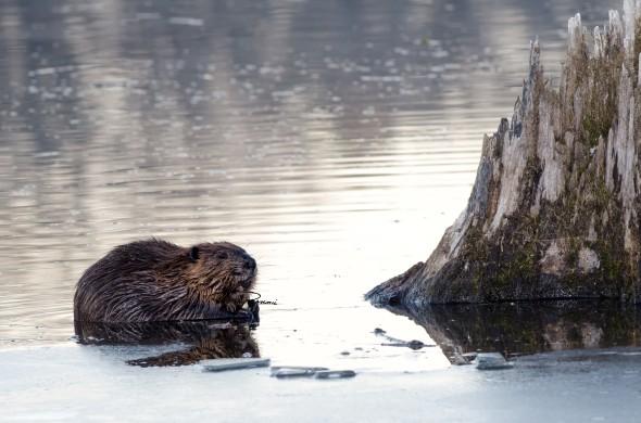 Beaver-for sm