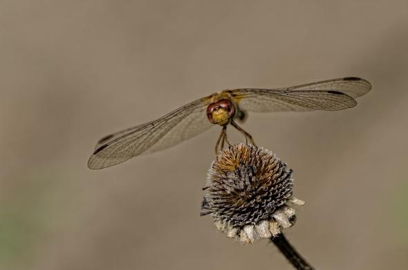 Dragonfly-5