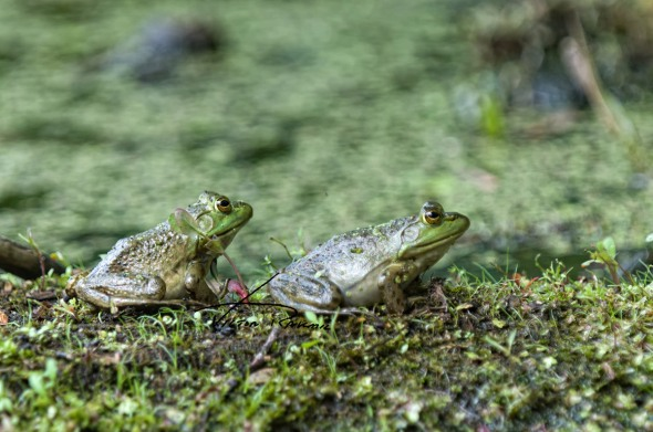 Knot-of-Frogs-3wp