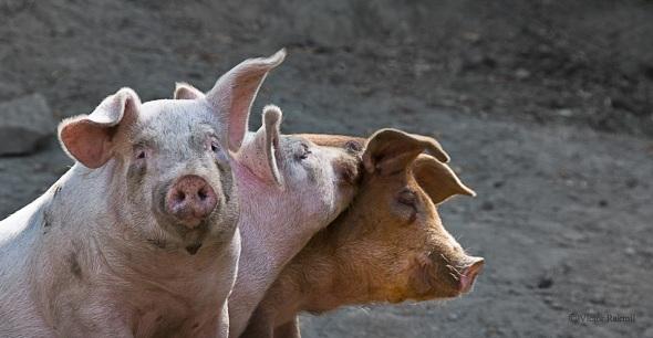 Pigs-1-09-00-14wp