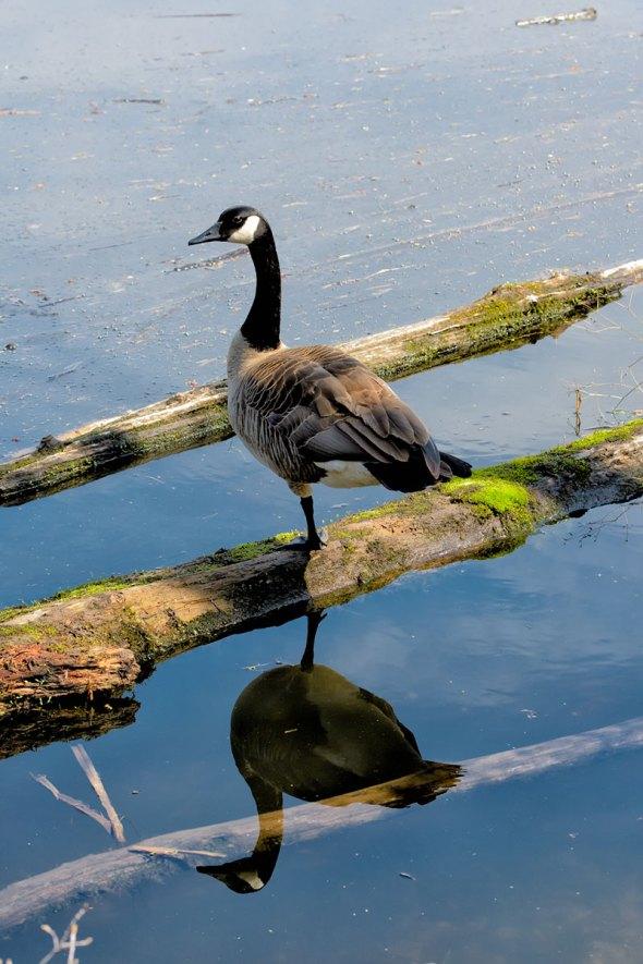 Goose-on-one-leg-wp
