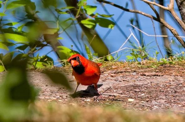 Northern-Cardinal-(Cardinalis-cardinalis)-1wp