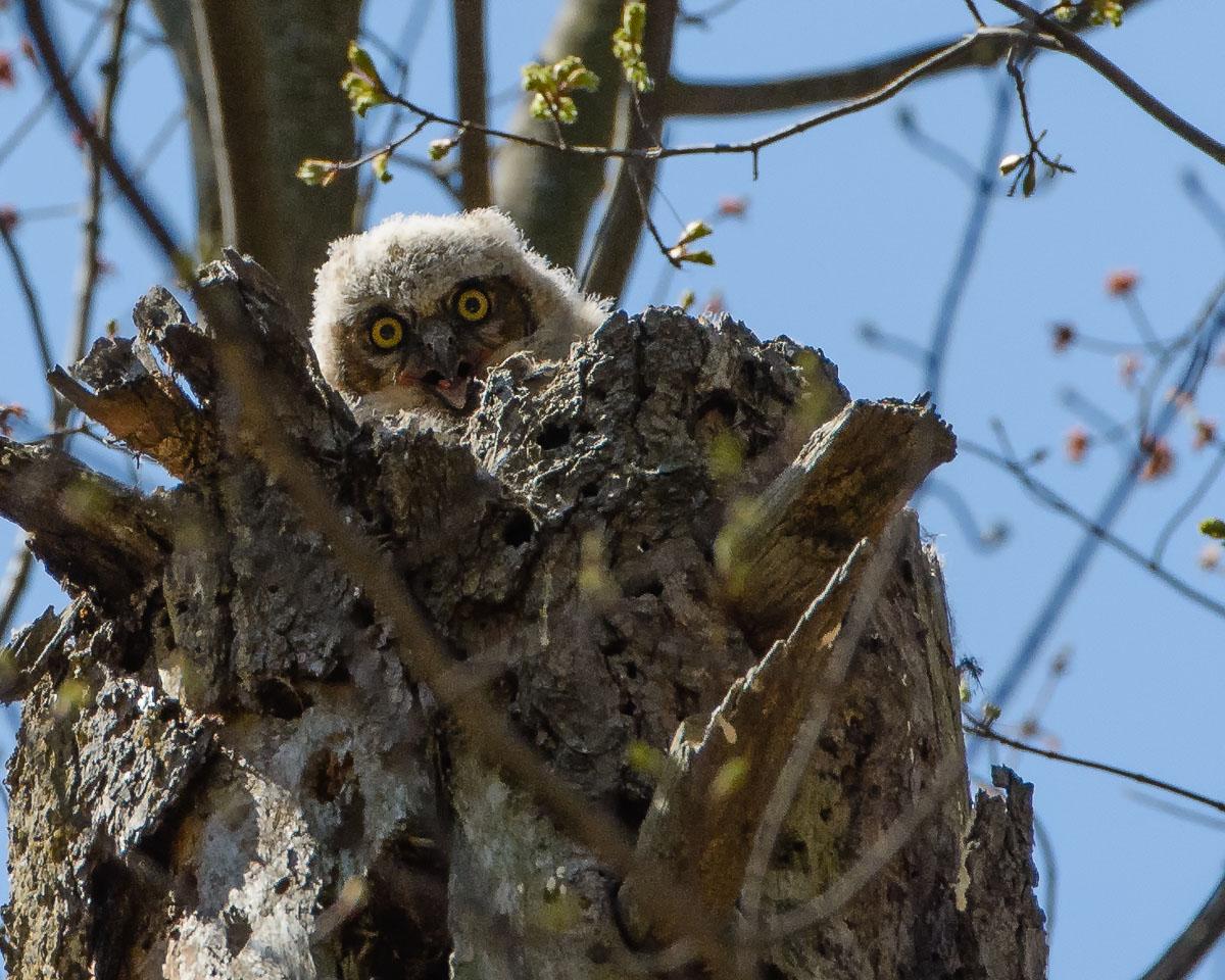 Owls, Baby Owls! | Victor Rakmil Photography