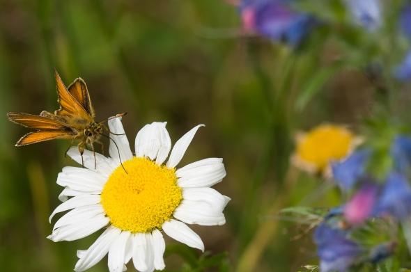 Skipper Butterfly-2