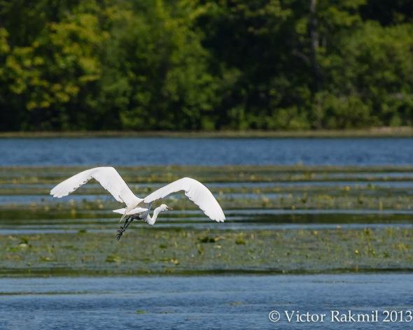 The Egret Flies