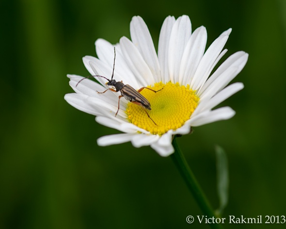 Flower Longhorn Beetle and Daisy