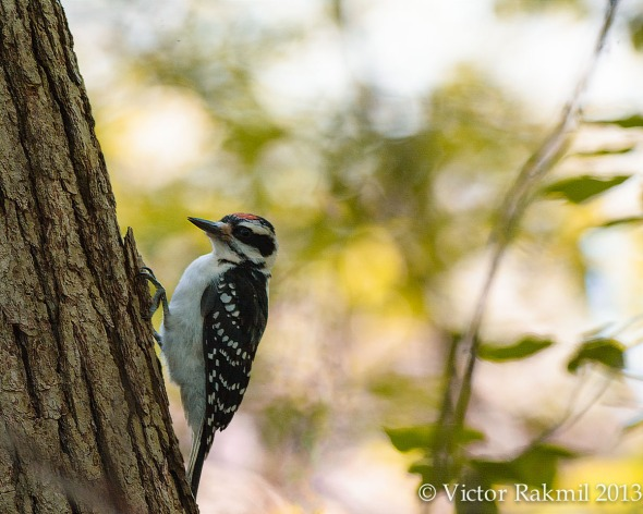 Hairy Woodpecker-5