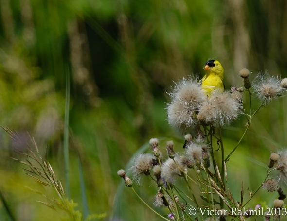 Gold Finch in the Milk Weed