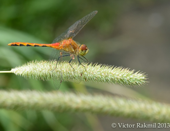 Ruby Meadowhawk-2