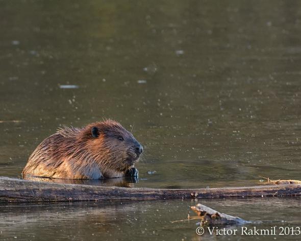 Beaver 2013