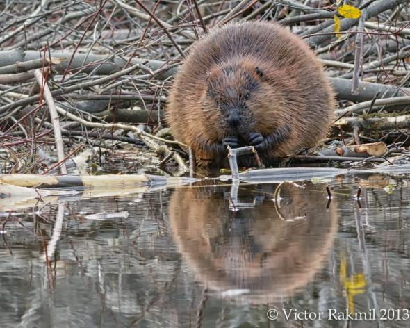 Beaver 2013:2