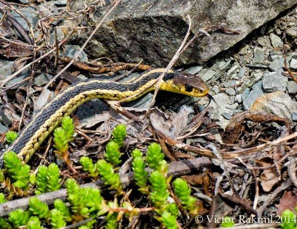 Garter Snake -2
