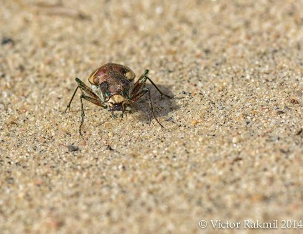 Liitle Flowe tha cou;-Tiger Beetle