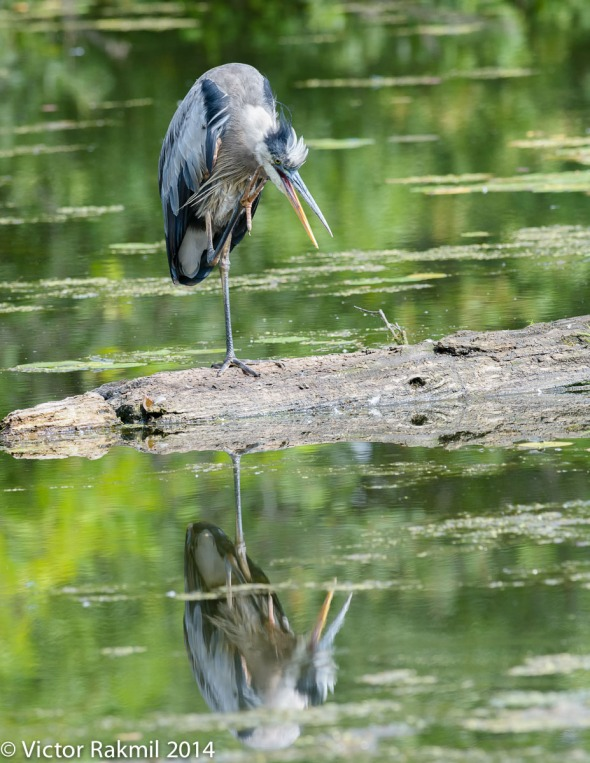 Heron and reflections-1