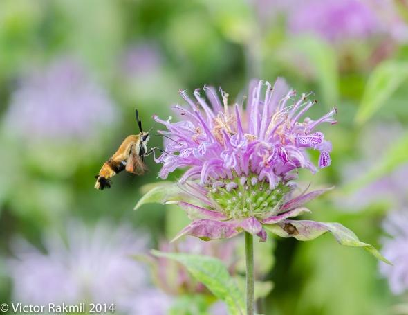 Hummbird Moth