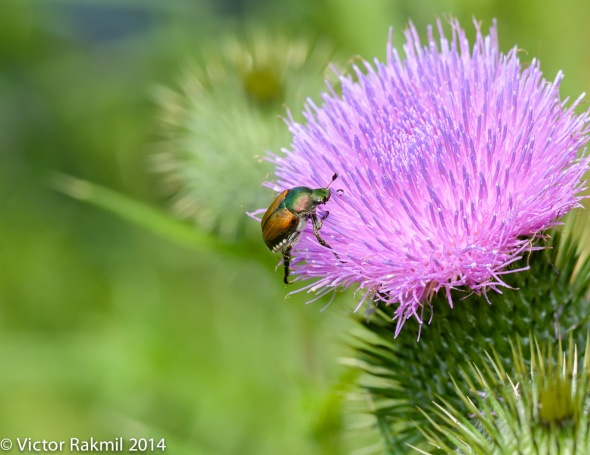 Japanese neetle on Thistle