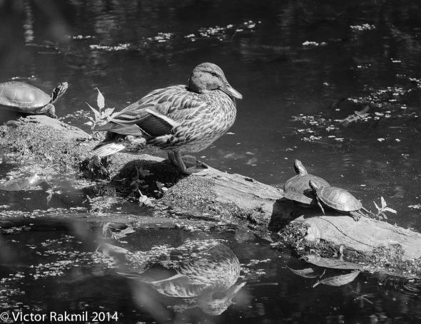 Turtles Dictating