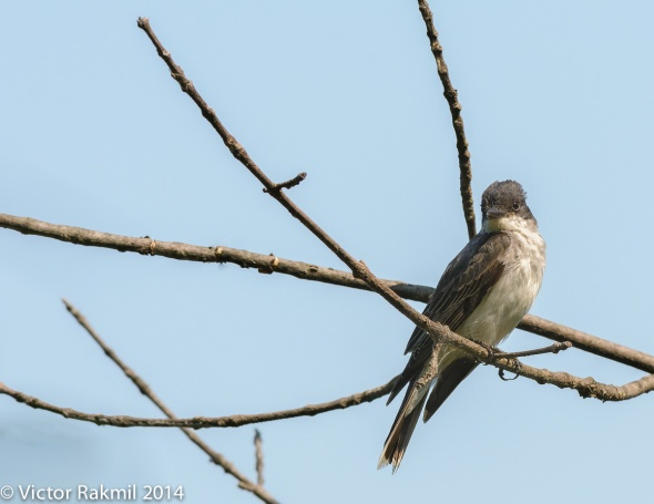 Who you looking at Kingbird-2