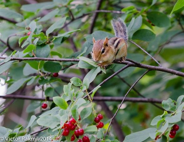 Chipmunk Feeding-2