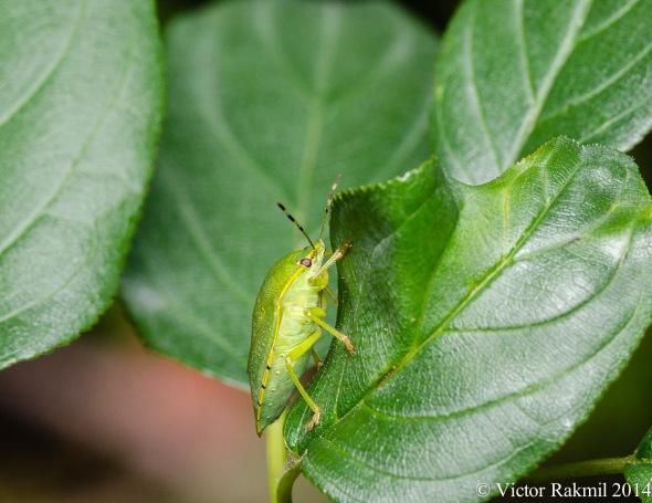 Green Stink Bug-2