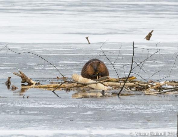 Beaver Buffet-2