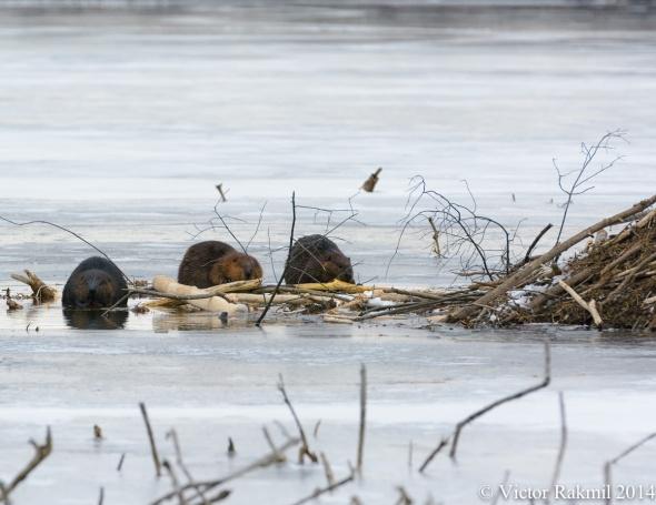 Beaver Buffet-3
