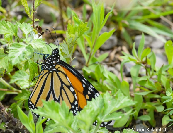 More Monarchs (and the challnge of shooting them)-3