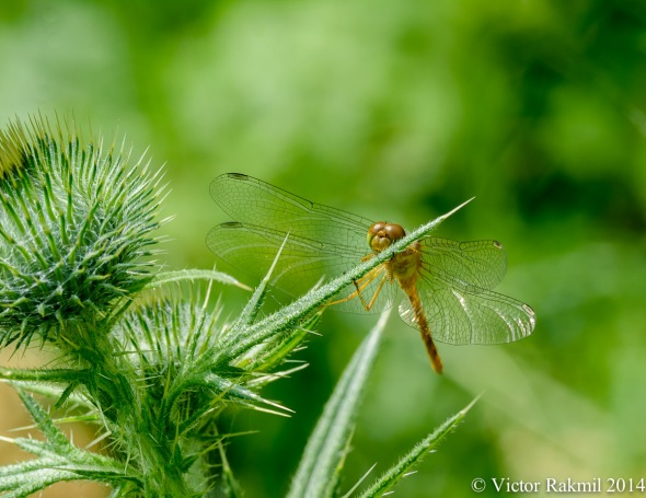 The Thistle and the Dragonfly
