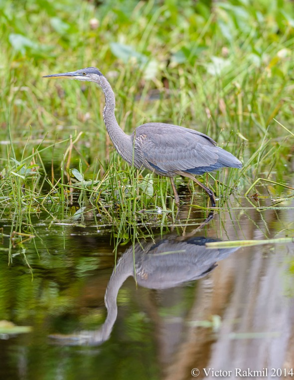 Heron Reflectiom