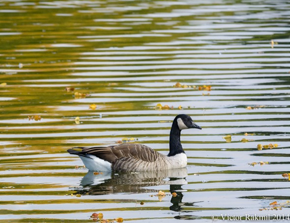 Lonely Goose-2