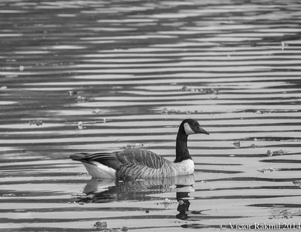 Lonely Goose
