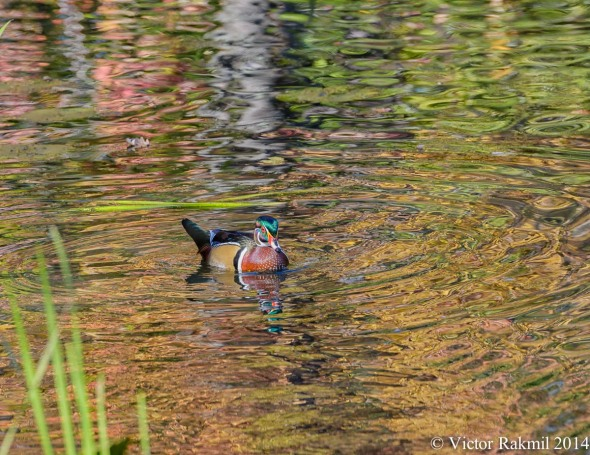 Wood Duck in Color