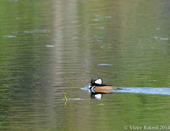 Hooded Merganser (1)-2