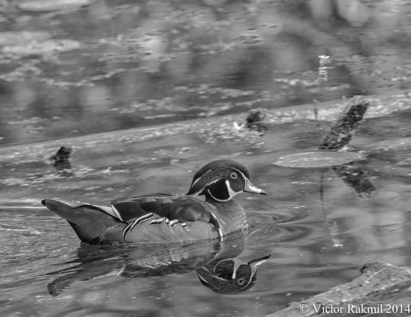Wood Duck in Monochrome