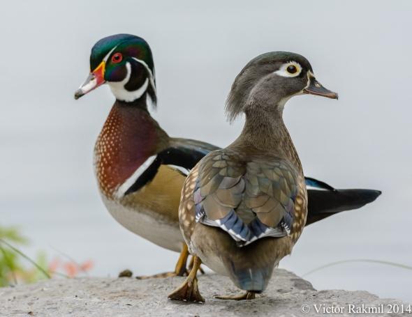 A Duet of Ducks