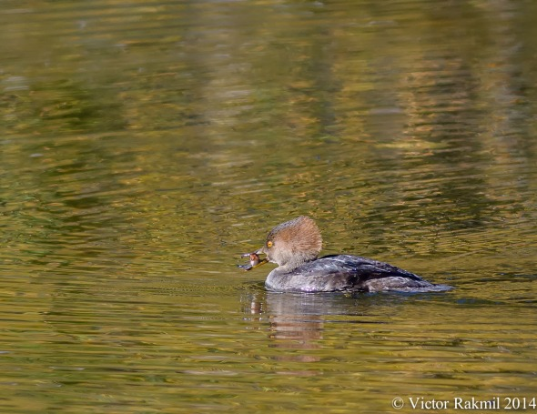 Female hooded Mergansers-2