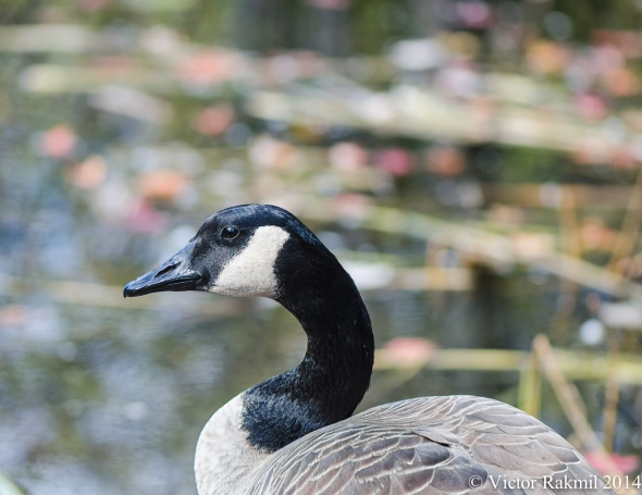Goose Portrait