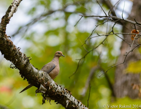 Mourng Dove in Tree