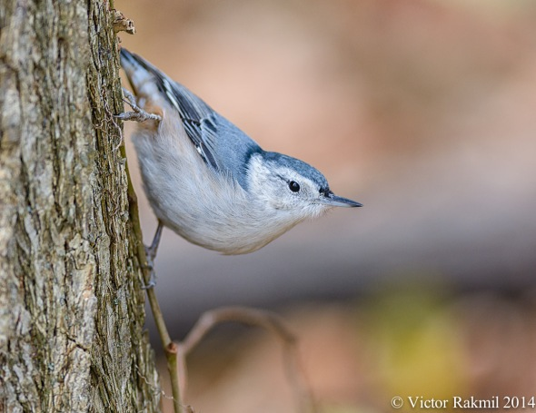 NutHatches-4