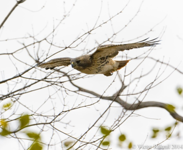 Red-Tailed Hawk (2)-3