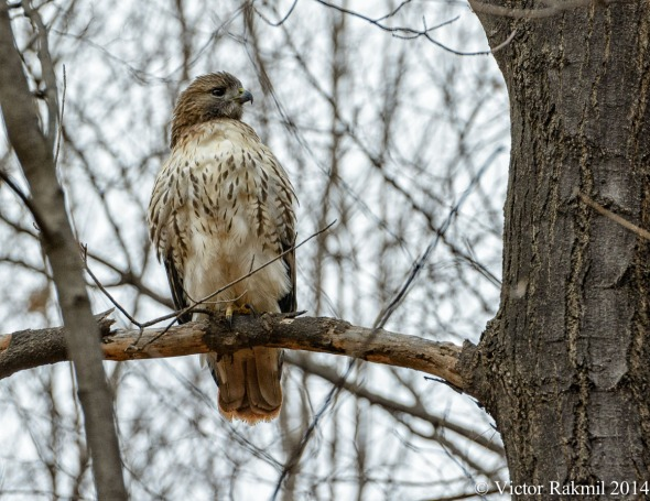 Red-Tailed Hawk (2)-4
