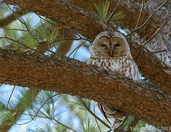 Barred Owl--2