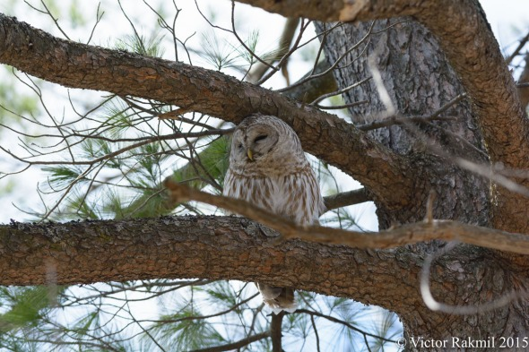 Barred Owl-Barred Owl OOC