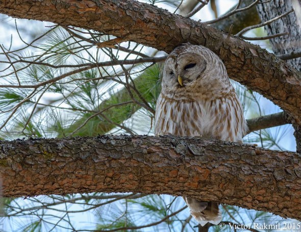 Barred Owl-