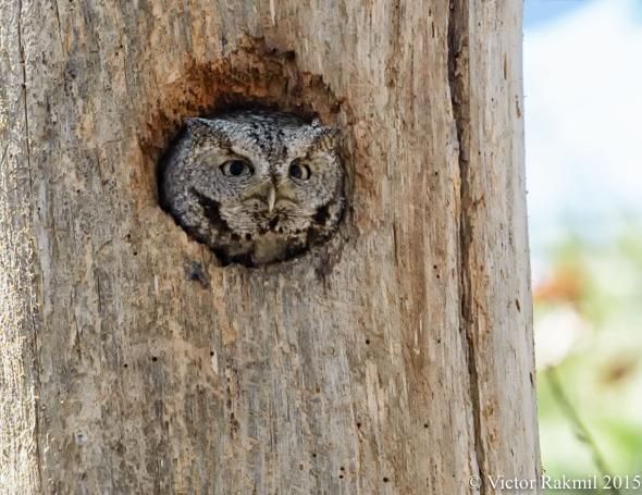 Eastern Screech Owls-1